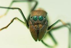 Female Myrmarachne Maxillosa