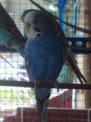 Dominan Bright Blue Male