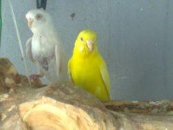 Female Yellow and White