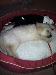 Already taken over the other doggie's bed!