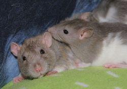 Cindy och Tikus