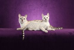 Adorable Bengals Seal Silver Spotted Lynx Point