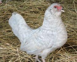 lavender cuckoo