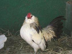 silver quail cock