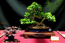 Ficus green emerald