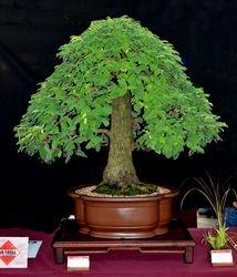 Tamarindus indicum