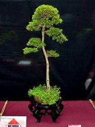 Neea buxifolia
