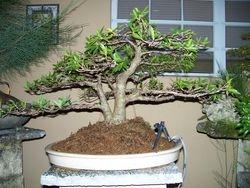 Ficus Subulata
