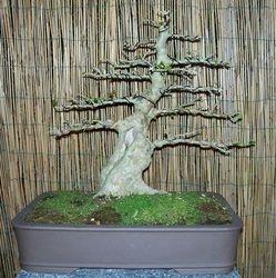 Cassearia aculeata