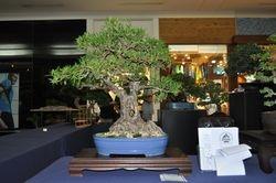 Ficus Salicaria (Nerifolia)