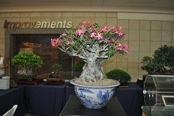 Adenium obesum- Rosa del desierto