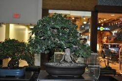 Ficus green emerald  (Rifa)