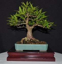 Ficus salicifolia