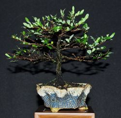 Phyllantus