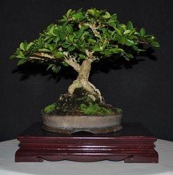 Acerola (Malphigia glabra)