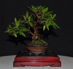 Ficus salicaria