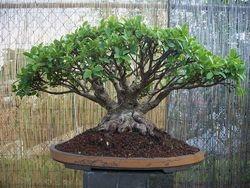 Ficus Tiger bark