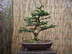 Ehretia microphylla (fukien tea)