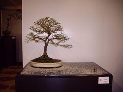 Triphasia trifolia