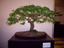Brazilian Raintree
