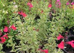 Salvia microfila roja