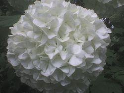Viburnum . copo de nieve