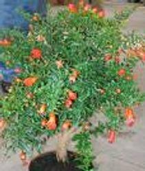 Punica granathum .granado enano