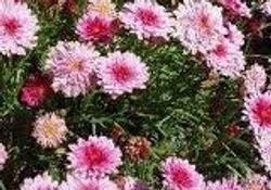 Argyranthemun frutescens