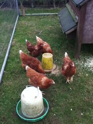 5 of the isa brown hens