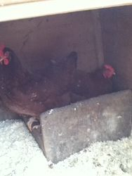 my 2 new hamshire reds in the nesting box
