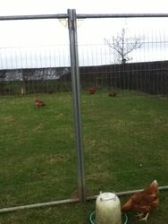 some of my hens and ducks in the front field