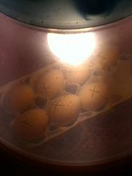 my henny bantam eggs in the incubator