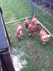 5 new isa brown hens