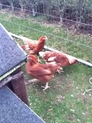 some of the new hens