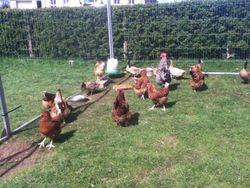 hens again
