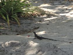 Playa Ocotal --Father Rooster