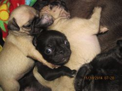 START PICS 11/19/14 {WALKING STEADILY NOW & RUNNING WABBLY, PLAYING VERY ACTIVELY WITH SIBLINGS & MOM NOW.... WEANING TO START SOON!