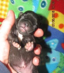 PUP E_ BLACK FEMALE WITH LARGE FULL BODY WHITE V CREST AND ALL WHITE TIPPED FEET (HOLD)