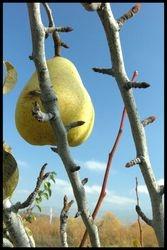Lone Pear