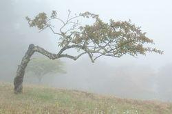 Old Plum Tree