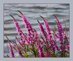 Kattenstaart - Lythrum salicaria