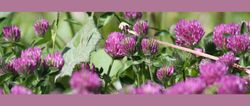Rode klaver - Trifolium pratense