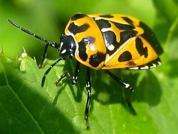 Harlequin Bug (Murgantia histrionica) (a form of stink bug)