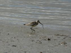 Black Tailed Godwit with food