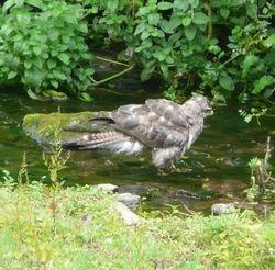 Bathing Buzzard