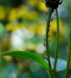March of the Red Aphids