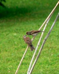 Birds Sharing Food DO6