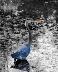 Blue Heron near Canandaigua Lake, 2008