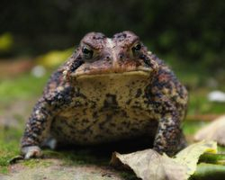 Toad with some Glamour