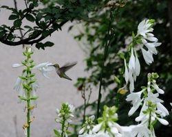 Hummingbird in Hostas